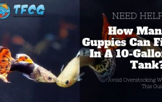 How Many Guppies in a 10 Gallon Tank