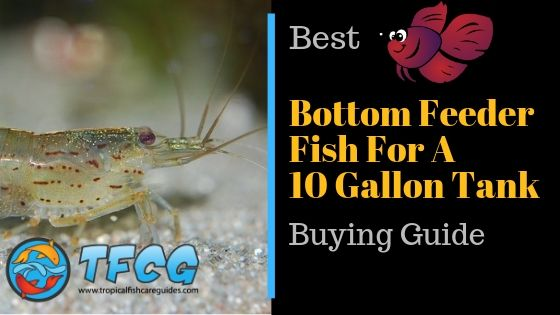 The Best Bottom Feeder Fish for a 10 Gallon Tank Buying Guide