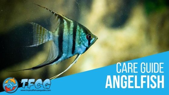 Angelfish Care Guide Everything You Need to Know Angelfish Care Guide
