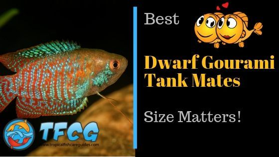 Ultimate Guide to the Best Dwarf Gourami Tank Mates