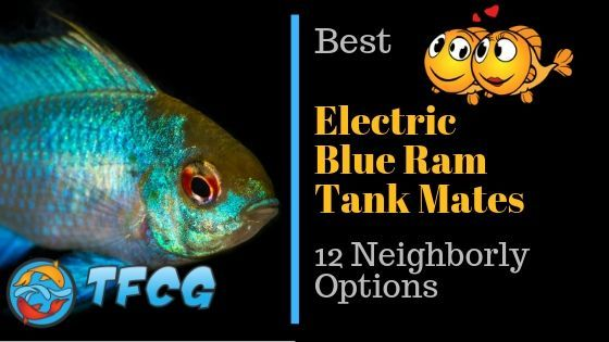 12 Neighborly Electric Blue Ram Tank Mates for a Happy Aquarium