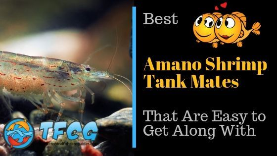 Best Amano Shrimp Tank Mates That Are Easy to Get Along With Amano Shrimp tank mates
