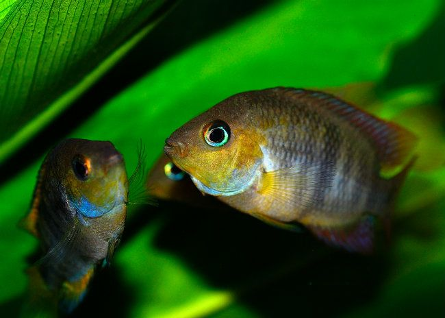 t-bar cichlids in fish tank