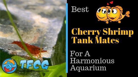 The Best Cherry Shrimp Tank Mates for a Harmonious Aquarium cherry shrimp tank mates