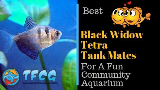 Black Widow Tetra Tank Mates Best Tank Mates for Black Widow Tetra