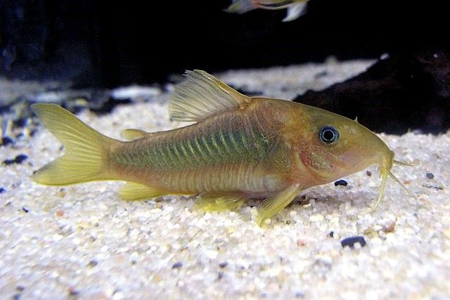 Corydoras catfish in fish tank