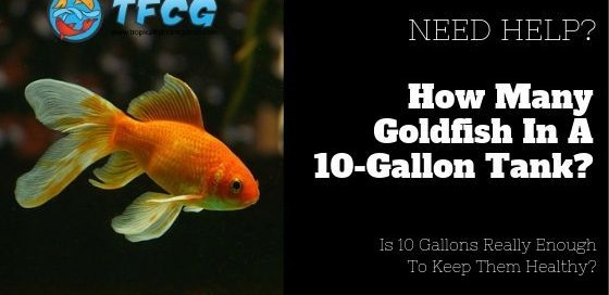 How Many Goldfish In A 10 Gallon Tank