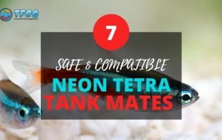 Safe and compatible neon tetra tank mates