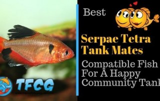 Serpae Tetra Tank Mates 7 Compatible Fish For A Happy Aquarium