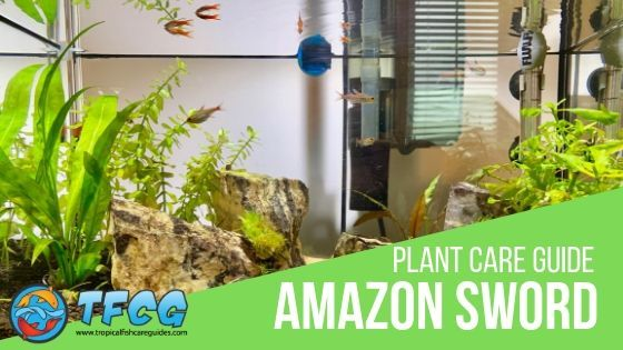 Amazon Sword Plant Guide, Care, Lighting, Planting, Propagation