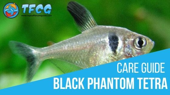 Black Phantom Tetra Care Size, Life Span, Tank Mates, Breeding