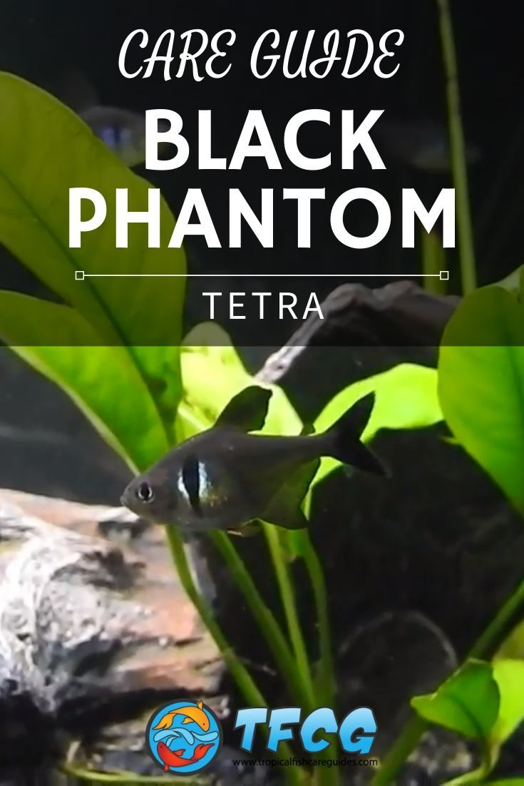 Black Phantom Tetra Care