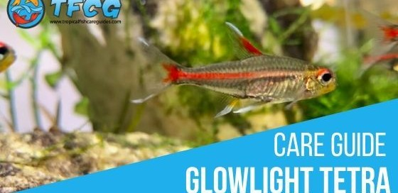 Glowlight Tetra Care