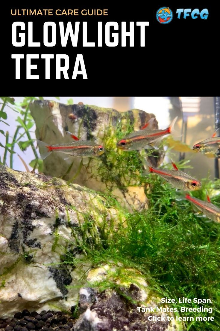 Glowlight Tetra Complete Care Guide Size, Life Span, Tank Mates, Breeding