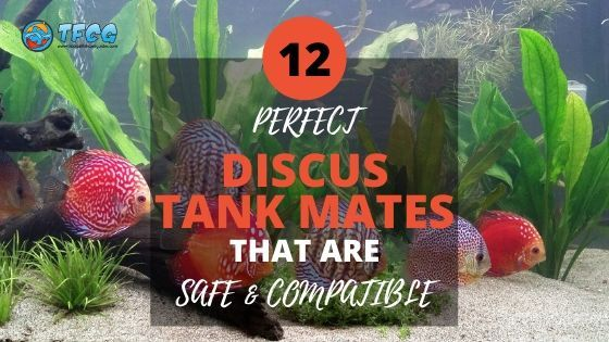 12 Awesome Discus Tank Mates For Your Not-so-social Discus Fish