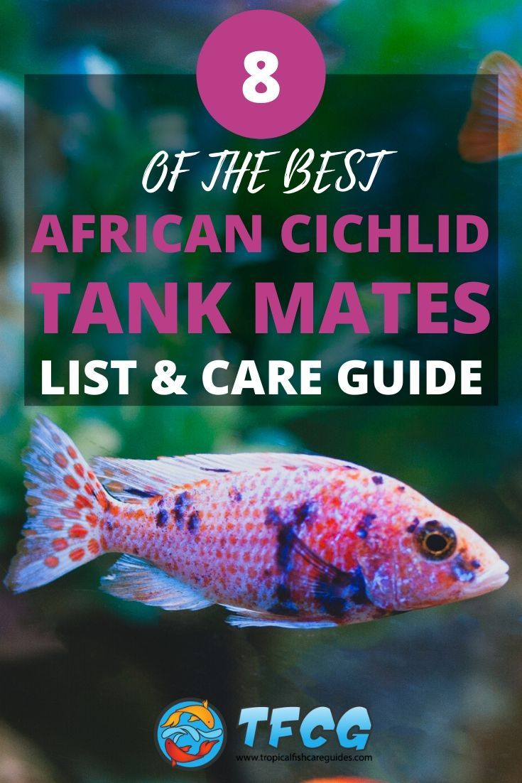 Awesome African Cichlid Tankmates