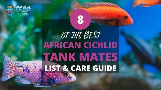 Best African Cichlid Tank Mates