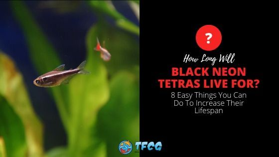 How Long Do Black Neon Tetras Live And Tips To Increase Their Lifespan