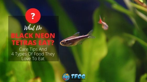What do black neon tetras eat Types Of Food They Love To Eat