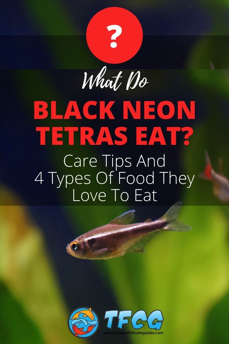 What Do Black Neon Tetras Eat