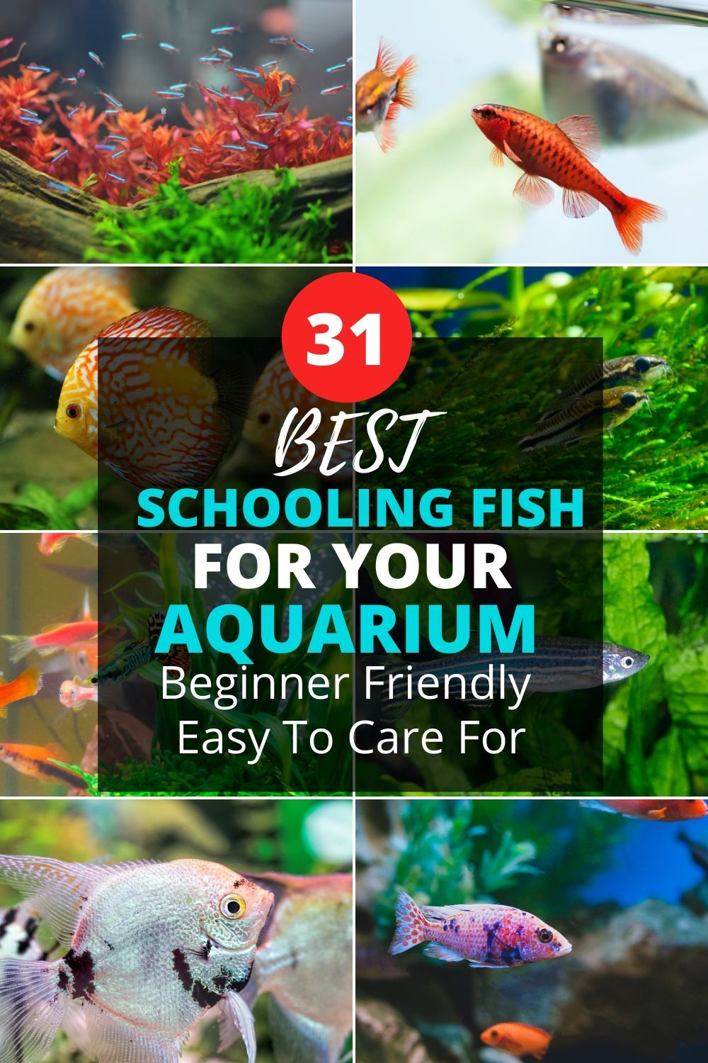 Best Schooling Fish For Aquariums Beginner Friendly Guide