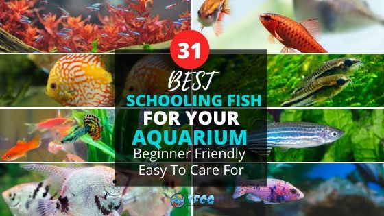 Best Schooling Fish For Aquariums Beginner Friendly List