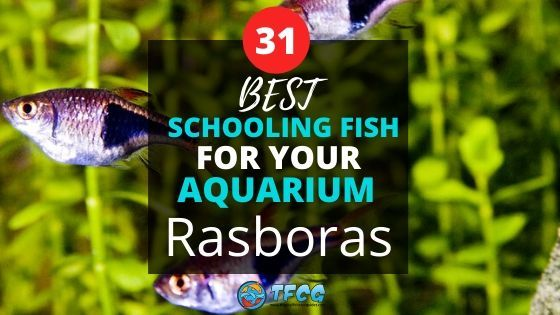 Best Schooling Fish For Aquariums Rasboras