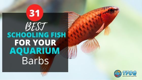 Best Schooling Fish For Aquariums_ Barbs