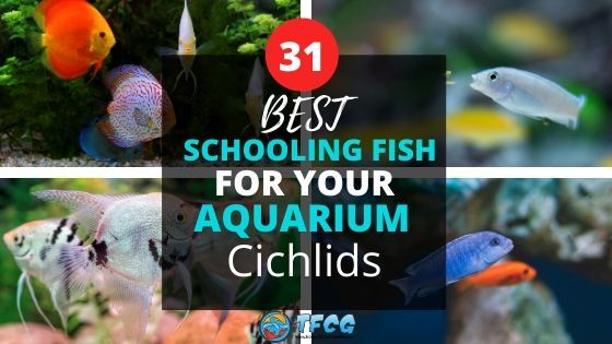 Best Schooling Fish For Aquariums_ Cichlids