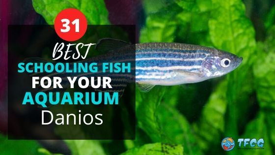 Best Schooling Fish For Aquariums_ Danios