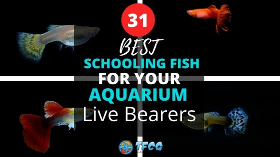 Best Schooling Fish For Aquariums_ Live Bearers