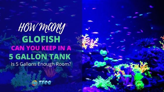 How Many GloFish In A 5 Gallon Tank