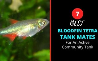 What Fish Can Live With Bloodfin Tetras