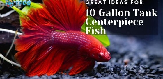 Centerpiece Fish For A 10 Gallon Tank - Liven Up Your Small Tank