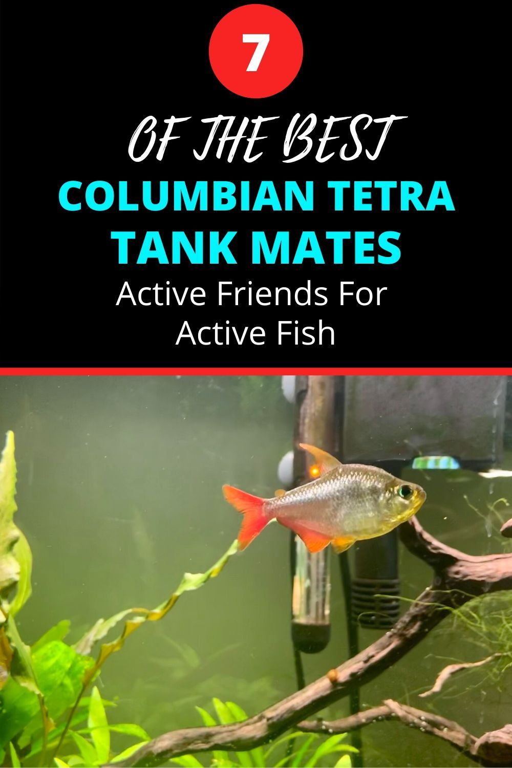 Colombian Tetra Tank Mates – Active Friends For An Active Fish
