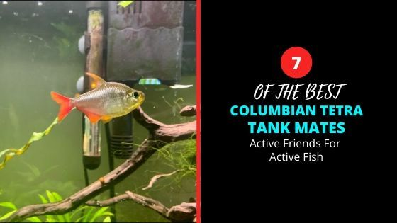 Colombian Tetra Tank Mates - Perfect Friends For An Active Fish