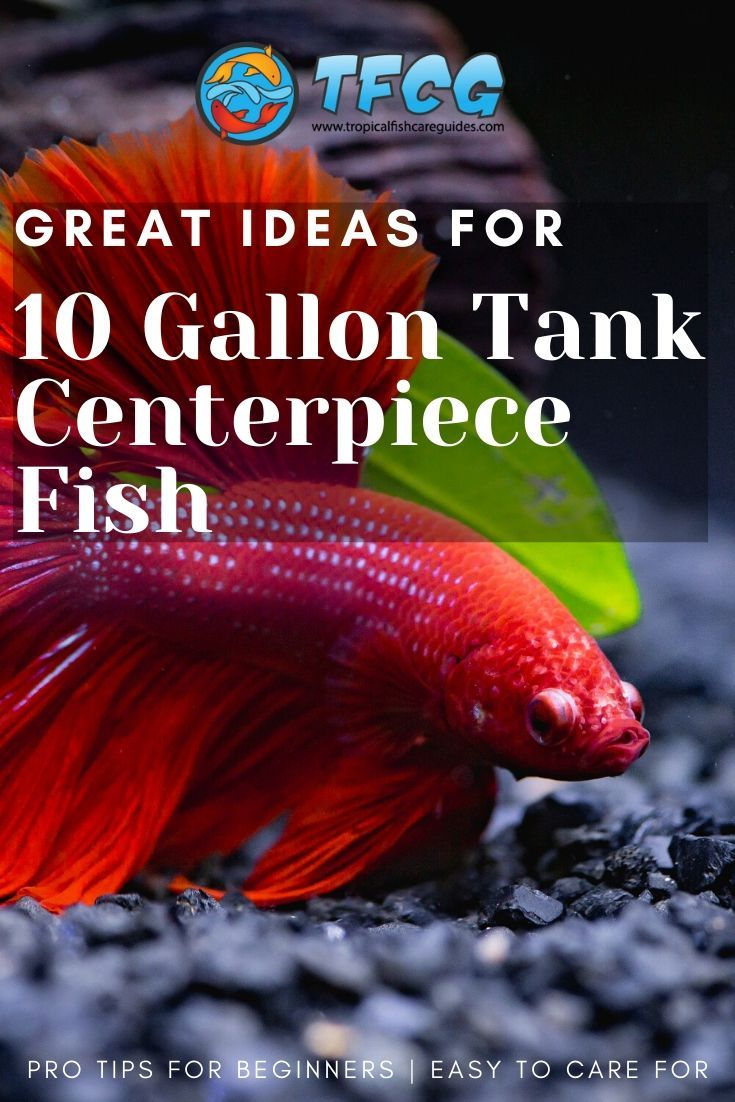 Finding The Right Centerpiece Fish For Your 10 Gallon Tank