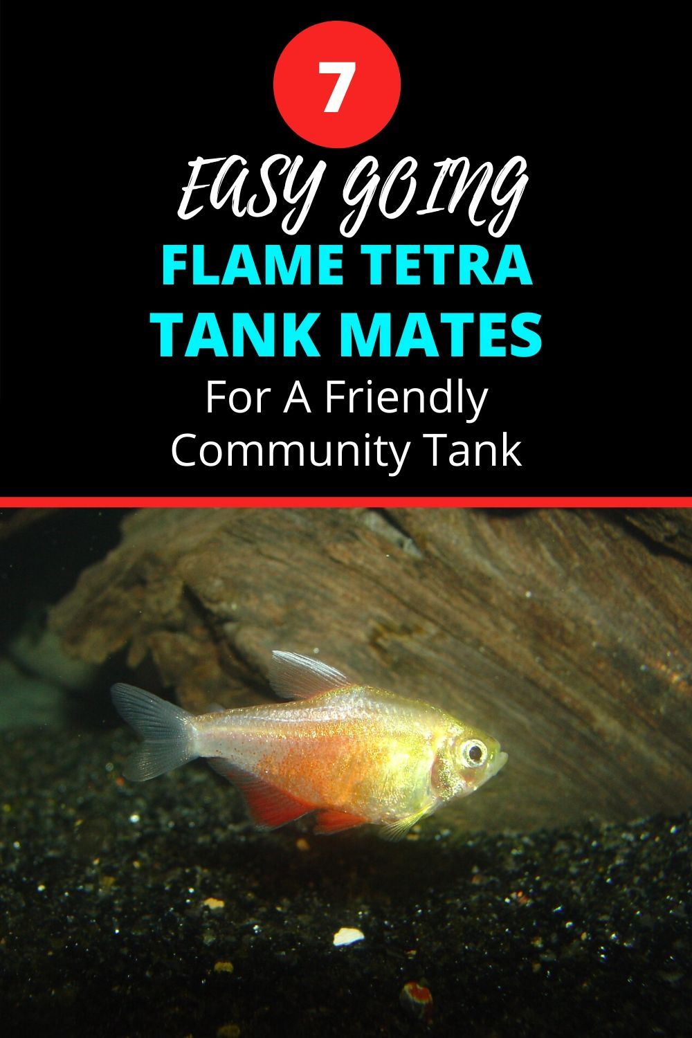 Flame Tetra Tank Mates – An Easy Going Bunch