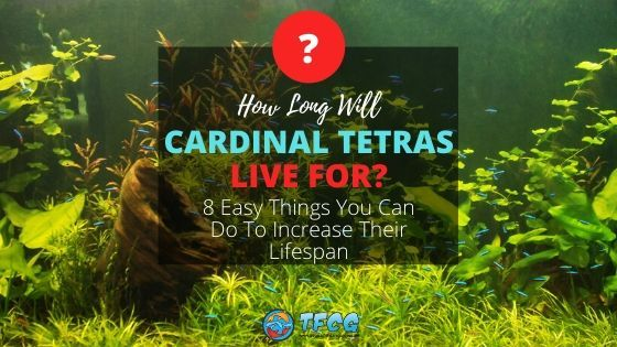 How Long Do Cardinal Tetras Live And Tips To Increase Their Lifespan