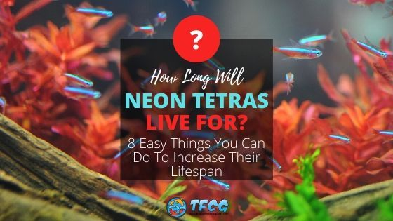 How Long Do Neon Tetras Live And Tips To Increase Their Lifespan