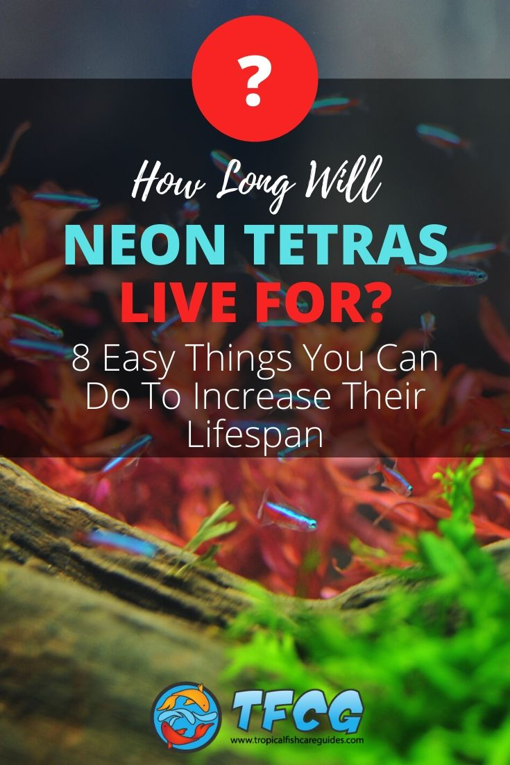 How Long Do Neon Tetras Live & Easy Things You Can Do To Increase Their Lifespan