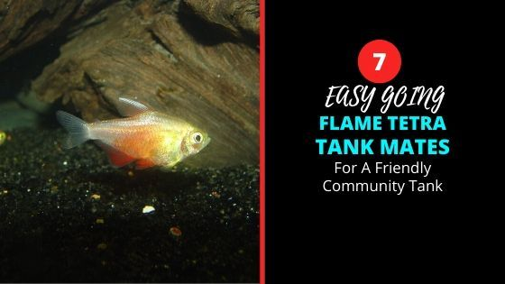 Interesting Flame Tetra Tank Mates Ideas For A Community Tank