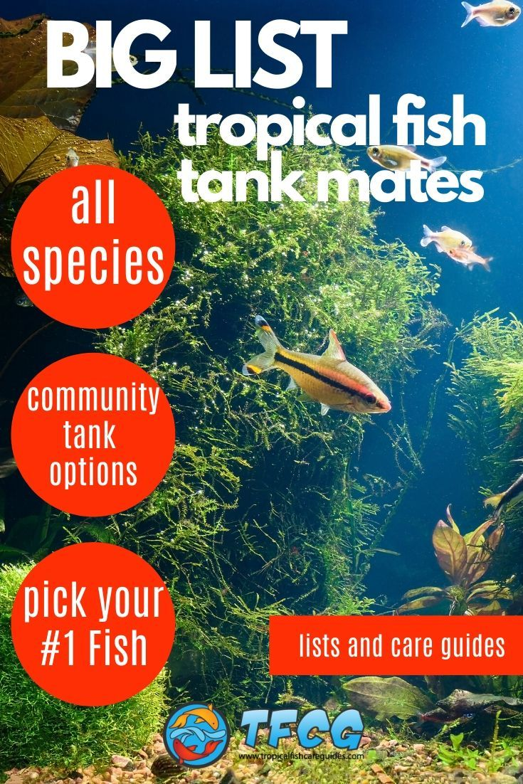 Tropical Fish Tank Mates List Of Compatible Fish For Popular Tropical Freshwater Fish