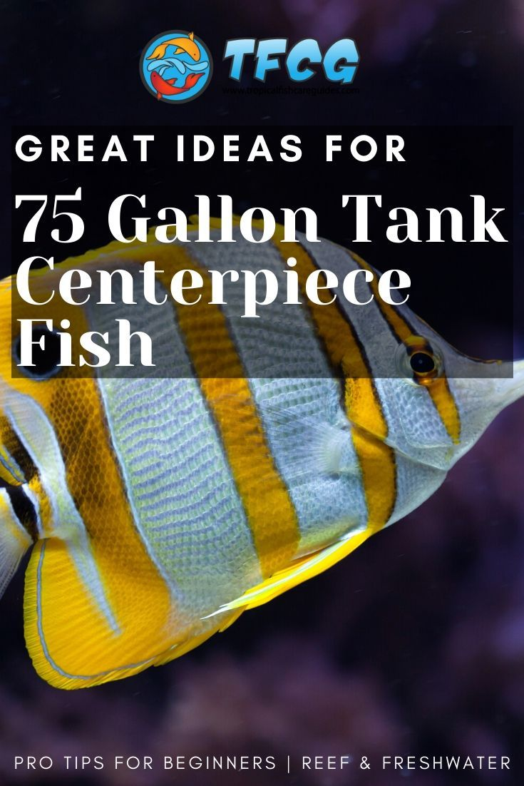 Centerpiece Fish for 75 Gallon Tank – Sizeable and Beautiful Swimmers