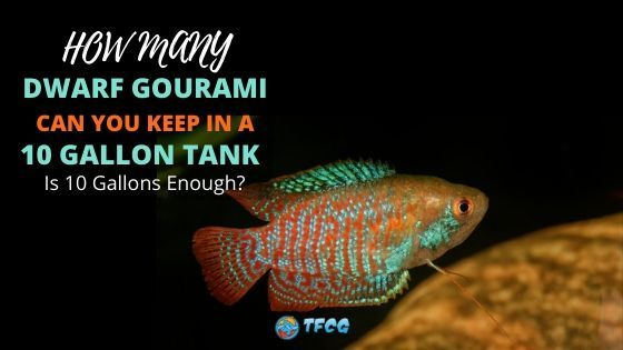 How Many Dwarf Gouramis Can You Keep In A 10 Gallon Tank