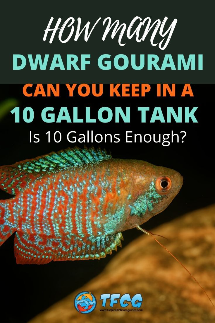How Many Dwarf Gouramis In A 10 Gallon Tank_