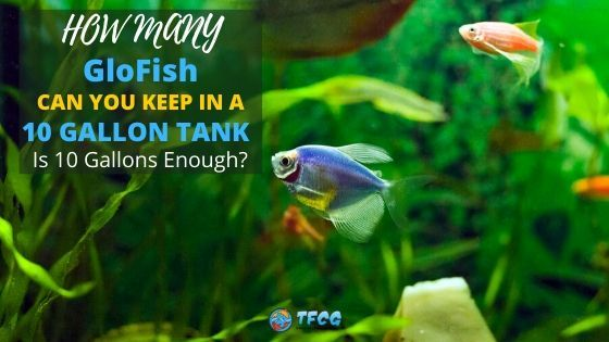 How Many GloFish Can You Keep In A 10 Gallon Tank_