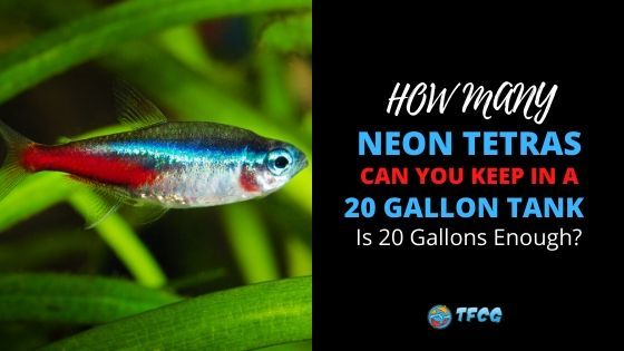 How Many Neon Tetra In A 20 gallon Tank Is 20 Gallons Enough Room!