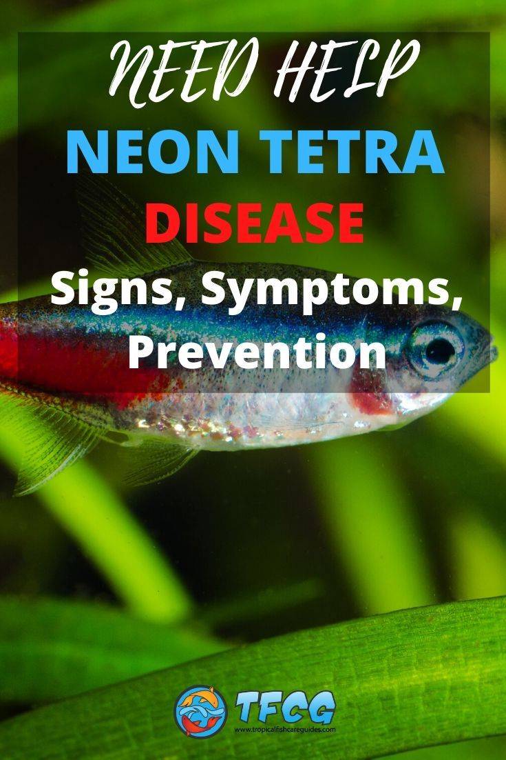 Neon Tetra Disease, Signs, Symptoms, Prevention and Treatment