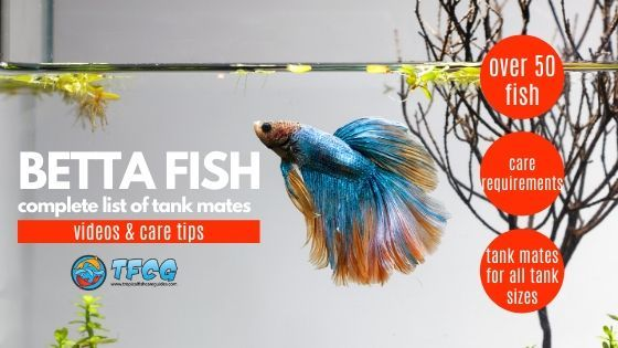 Betta Tank Mate Ideas What Fish are compatible with bettas